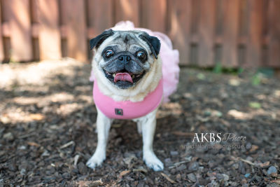 Available pugs - Mid-Atlantic Pug Rescue
