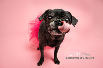 Available Senior Pugs Mid Atlantic Pug Rescue
